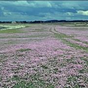 Blommande trift på betad strandäng