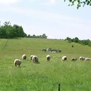 Ekornavallen, betande får