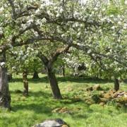 Ängsfruktsodlingsområdet kring södra Åsnen blir riksintresse.