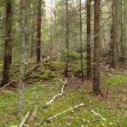 Exempel på fornlämningar i skogen, ett medeltida odlingröse i Jämtland.