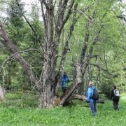 Undersökning av en gammal sälg i ett fäbodområde vid Kläberget, Dalarnas län. Sälgen är ett biologiskt kulturarv som bär spår av både stubbskottsbruk och hamling.
