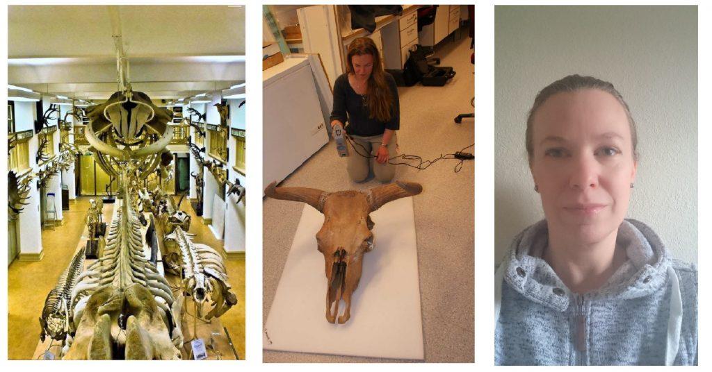 Från vänster: Skelettsalen i det gamla Zoologiska museet, Martia Mostadius med skalle i samlingen3D-scannar en skalle, Maria Mostadius.