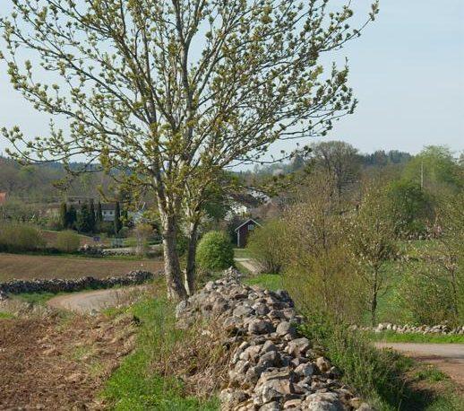 En stenmur längs åkerkanten har tidigare fungerat som hägnad för att stänga ute boskap från åkern.