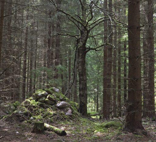 Odlingsrösen och döda lövträd vittnar om ett äldre odlingslandskap i skogarna vid Nötekulla i Småland.