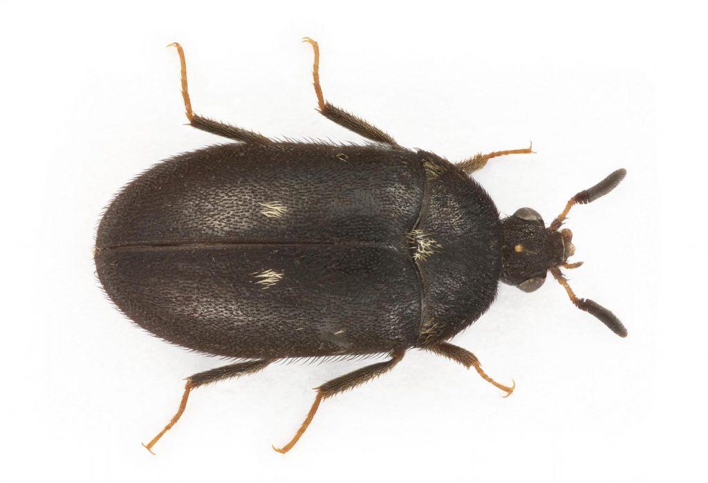 Exempel på en skadeinsekt är pälsänger (Attagenus pellio).