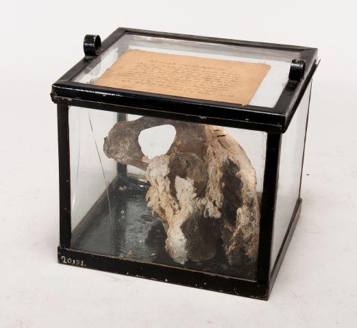 Benbit liggandes i en fyrkantig glaskub med gammal märklapp ovanpå.